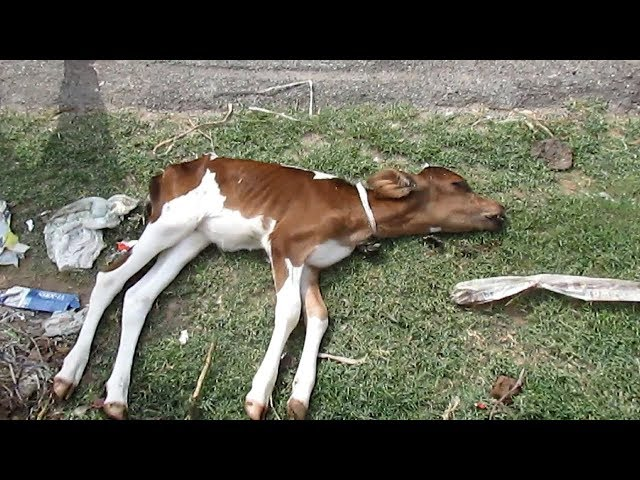 Abandoned dying baby calf now safe forever