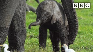 Baby elephant misbehaves and gets left behind | Spy in the Wild  BBC