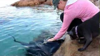 Hand feeding wild Stingrays