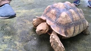 Farm In The City Malaysia 城の农场-乌龟赛跑追人Tortoise