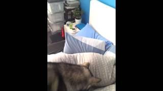 Собака с лазером - лучший будильник по утрам!