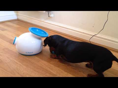 Miniature Dachshund playing fetch with automatic ball launcher