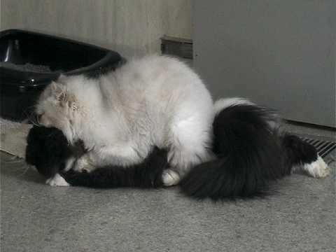 Incestual Lesbionic Cats; Pt.II