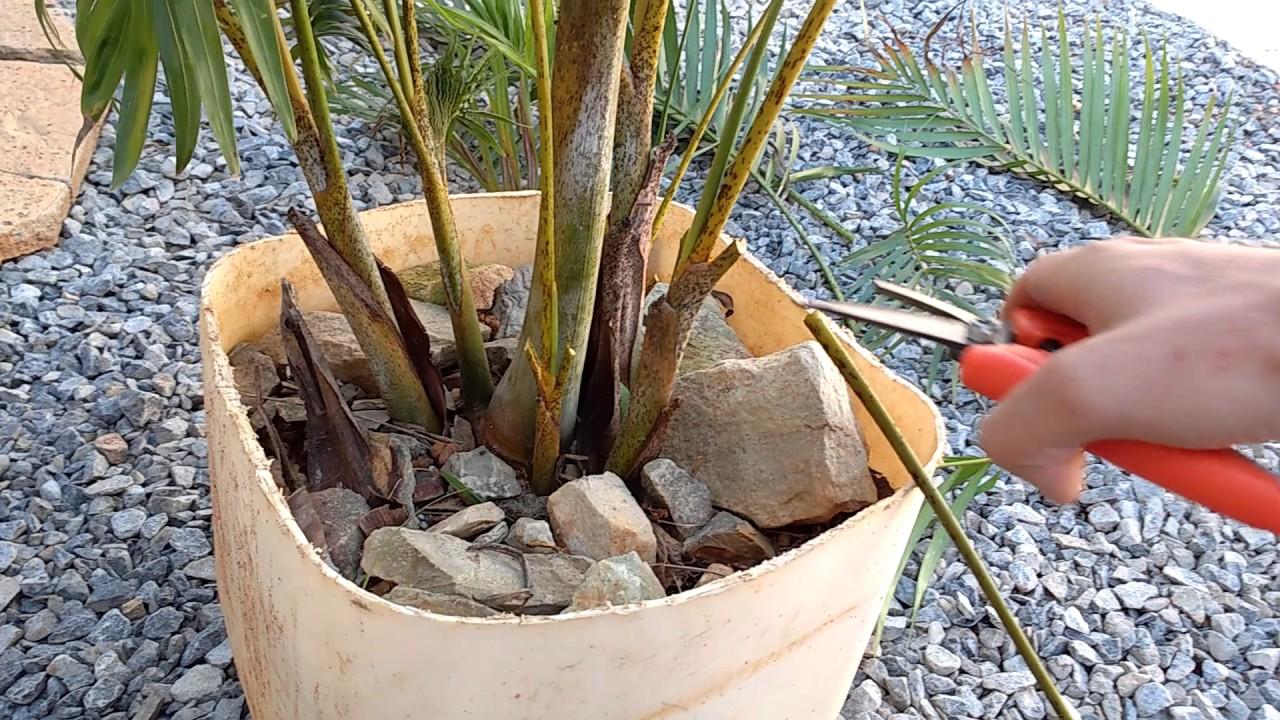 Dicas e cuidados areca bambu como podar areca bambu em for Bambu in vaso prezzo