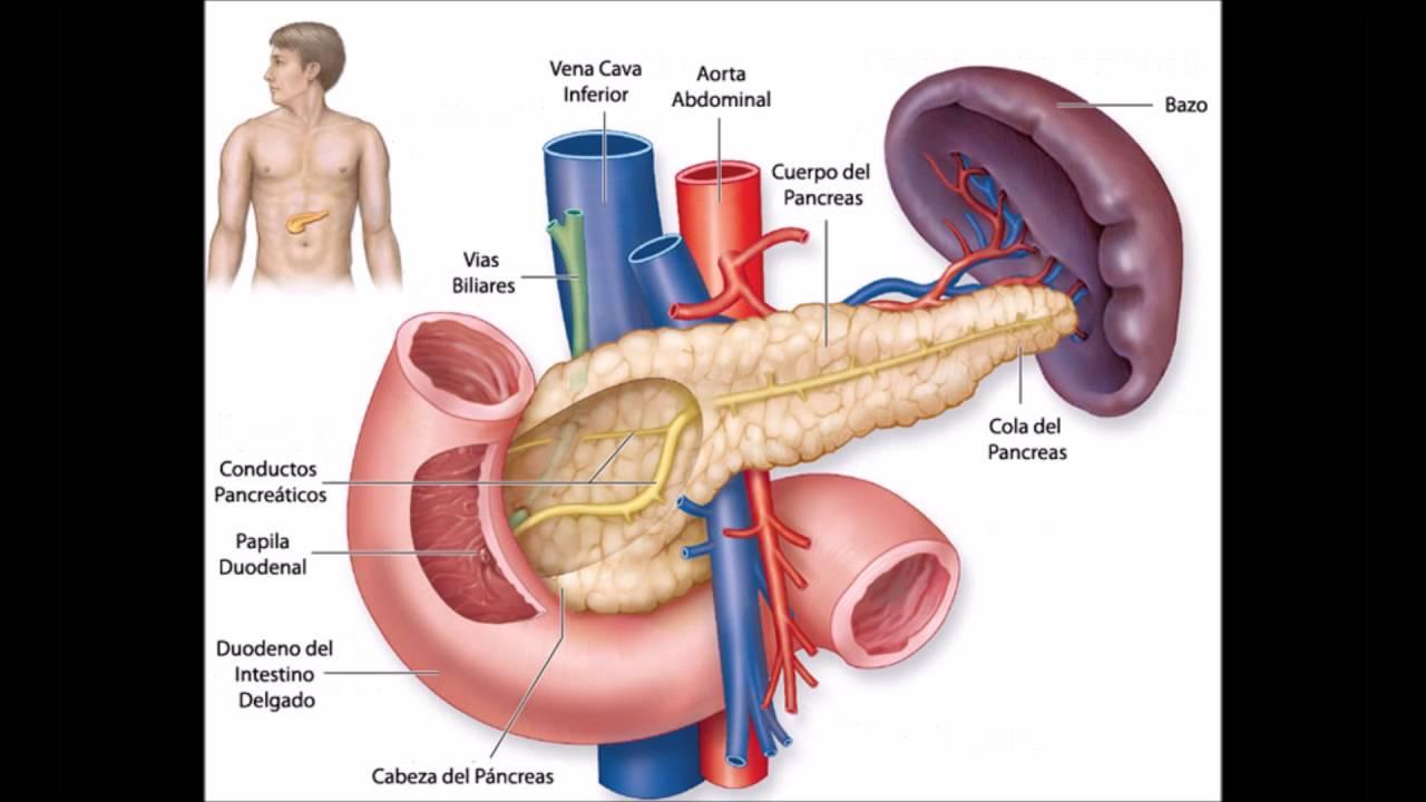 Excelente Anatomía Del Hígado Y El Bazo Ornamento - Anatomía y ...