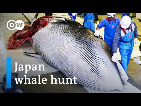 Japan commercial whaling: Outdated cruelty or sacred tradition? | DW News