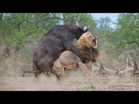 10 Сумасшедших Битв Животных Снятых на Камеру!