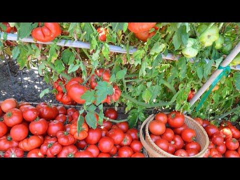 Богатый урожай овощей
