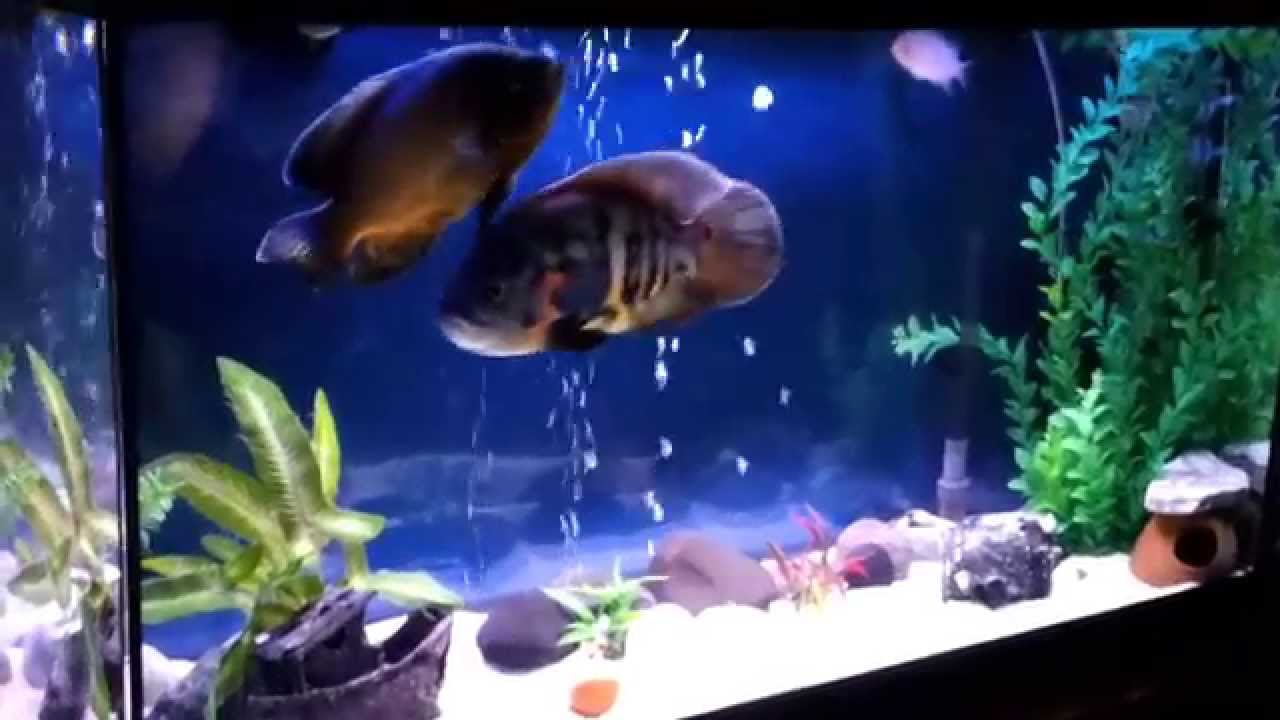 Aquarium fish tank decorations - My Oscar Tank 3 Ozgur New Decoration