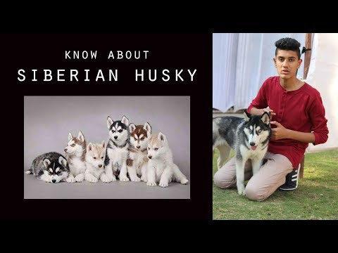 siberian husky II know about siberian husky II siberian husky dog II breed informationII