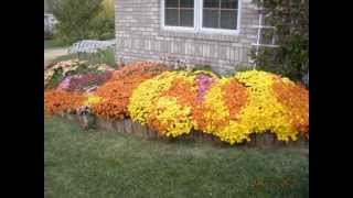 Mums Flowers - Fall 2012 - US Midwest