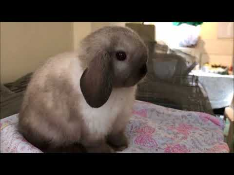 Bunny Breed and Size Guide: Mini Lop (Holland Lop) Rabbits