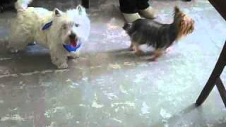 Yorkie And Westie!   Wanna Go For A Walk2