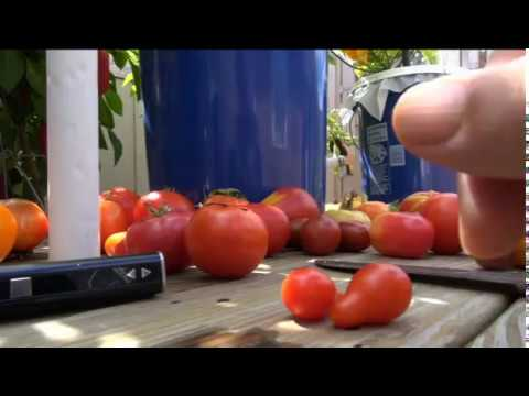 ➩ Red Pear - Tomato - Indeterminate - good snacking tomato!! check it out!!!