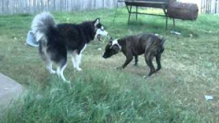 Pitbull Vs Husky