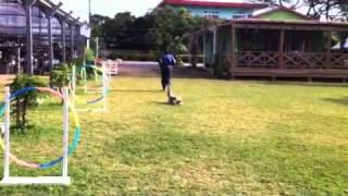セラピードッグスクール沖縄 預託犬の服従訓練(スクールの訓練場にて)