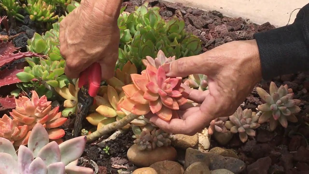 How To Prune Your Succulents Youtube