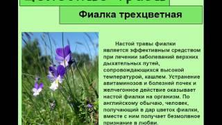 Фиалка трехцветная(http://travmag.ru/item/fialka-trehcvetnaya.html купить целебные травы в нашем интернет магазине трав., 2014-03-26T09:26:04.000Z)