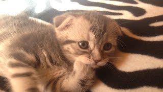 Котята учатся ходить и сидеть. Нашим шотландским вислоухим котятам 18 дней. Шотландская вислоухая.
