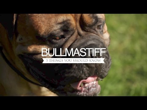 BULLMASTIFF FIVE THINGS YOU SHOULD KNOW