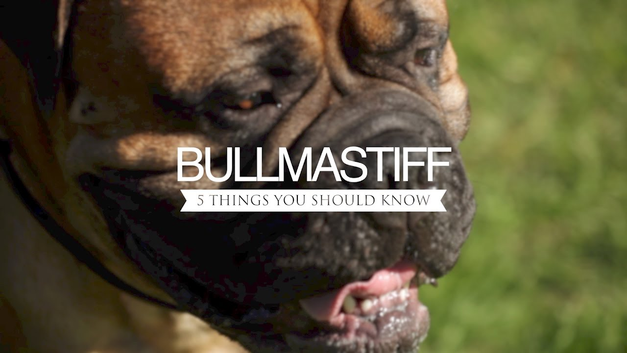 Bullmastiff five things you should know youtube bullmastiff five things you should know nvjuhfo Gallery