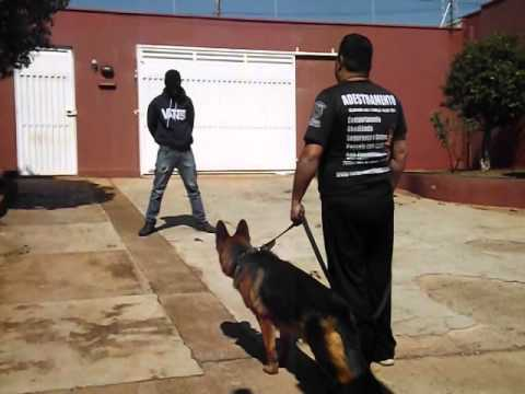 Adestramento cães de guerra fase 3 segurança e defesa .