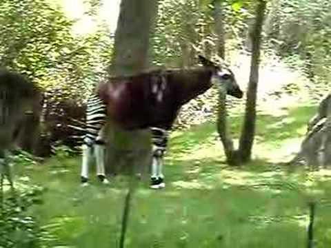 half zebra & half horse - YouTube