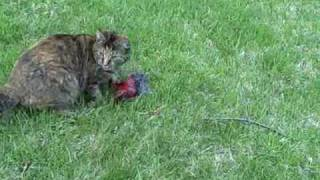 Cat Captures, Tortures, and Kills a Cardinal (bird)