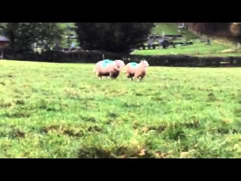 Bala sheepdog sale Nov 2015 no 51 Turk