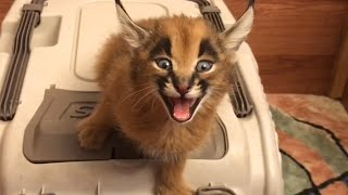 Vocal Cats | Funny Kitten Video Pet Compilation 2017
