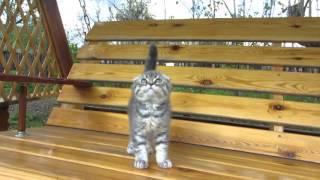 Iотландские котята. ПРОДАЖА! Котик Освальд SFSas24