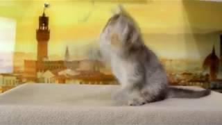 Продажа. Шотландская короткошерстная шоколадная тикированная черепаховая
