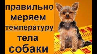 правильно меряем температуру, проверяем термометр и осматириваем собаку