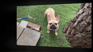 May 2019 mothers day two french bulldog puppy girls