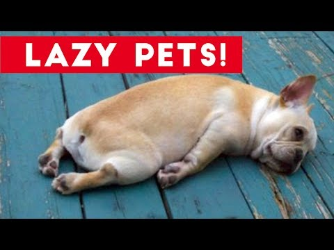 Thumbnail: Laziest Pets | Cute and Funny Animals Compilation of 2017 | Funny Pet Videos
