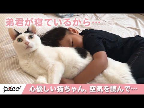 空気を読んで…弟思いな心優しい猫ちゃん😽 【PECO TV】