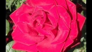 Парки Днепропетровска Осенние розы в детском парке   Autumn roses Dnepropetrovsk(Парки Днепропетровска наполнены деревьями, цветами, декоративными кустарниками. В детском парке устроен..., 2015-10-14T19:44:52.000Z)