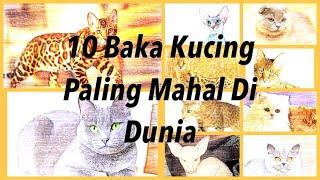 10 Baka Kucing Paling Comel Dan Termahal Di Dunia No 2 Tu Ada Ke Dekat Malaysia Cute766