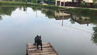 Французский бульдог  Самая умная собака!