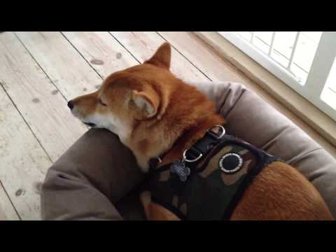 Funny Shiba Inu with Attitude Compilation!  柴犬!
