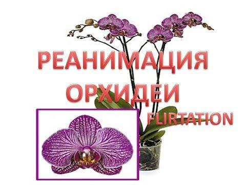 Реанимация орхидеи Flirtation 🌸🌸🌸