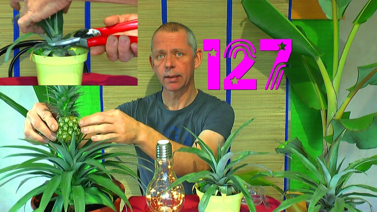 ananas vermehren durch kindel und ein experiment selber machen youtube. Black Bedroom Furniture Sets. Home Design Ideas
