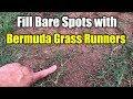 Fix Bare Spots Bermuda Grass with Runners