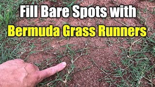 Fix Bare Spots Bermuda Grass with Runners