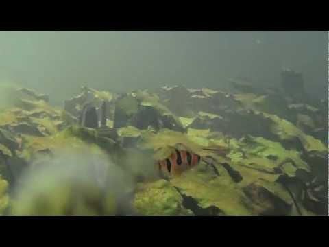 Under water video of Habitat of C. cordata var. grabowskii, middle barito.