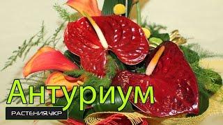 видео уход за комнатными цветами антуриум