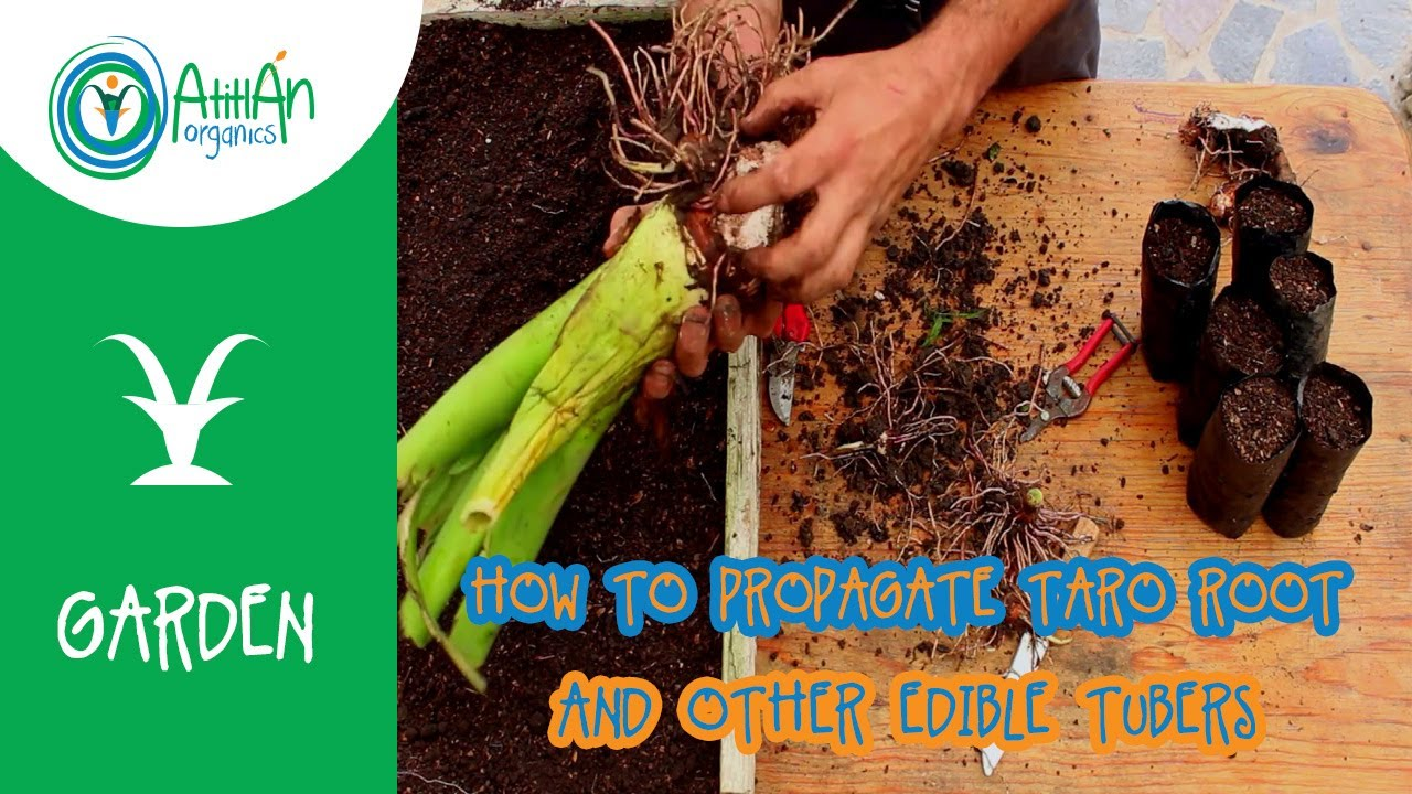 How To Propagate Taro Root And Other Edible Tubers Youtube