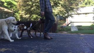 Stop And Go - Dog Training With A Pack Of Dogs | Follow The Leader Dog Training