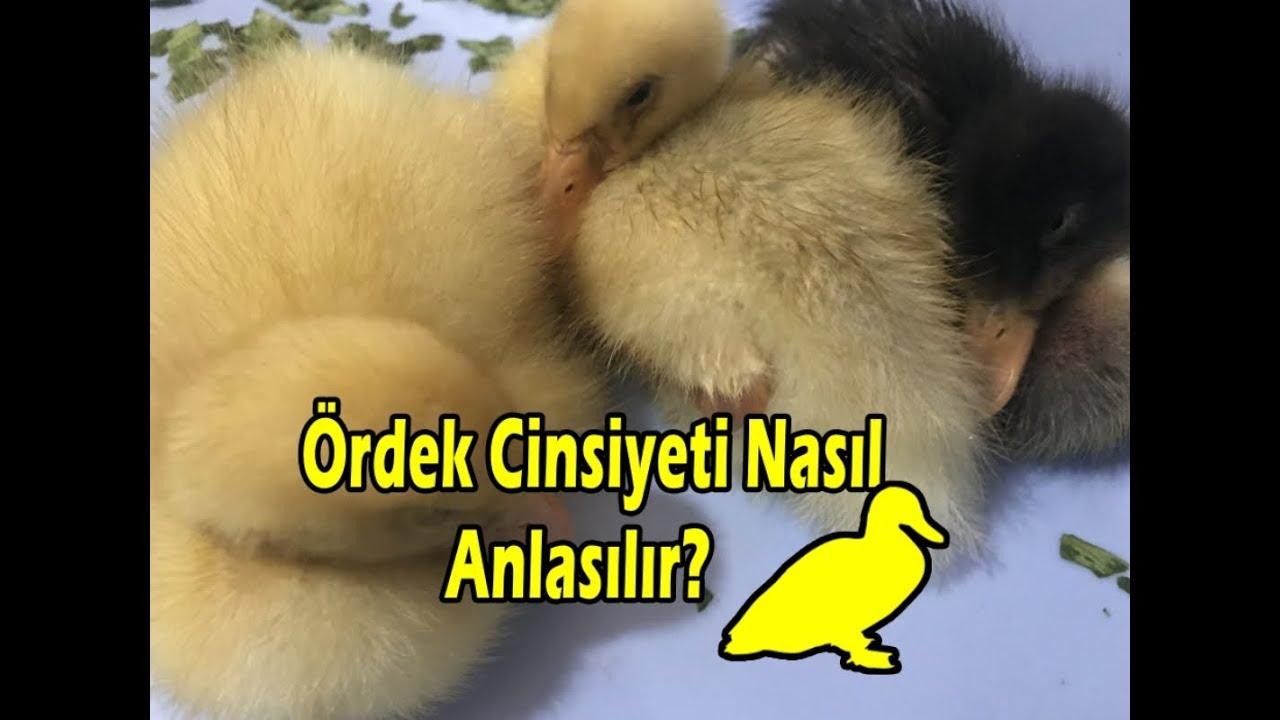 Yavru ördeklerin Cinsiyeti Nasıl Anlaşılır Kesin çözüm Youtube