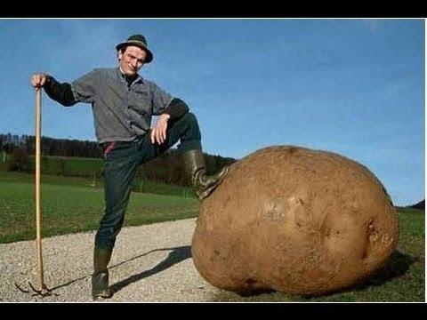 Урожай картошки 23 сентября 2013 год
